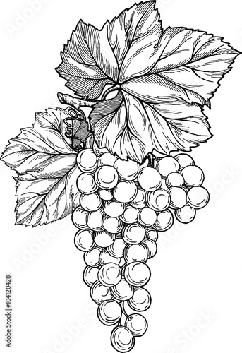 Stampa su Tela Grape branch with bunch of grapes and leaves.