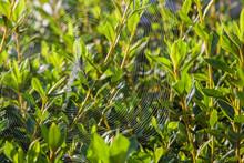 Spelling Spider Web In Azalia Bushes