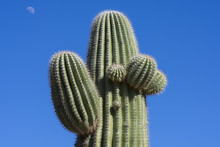 Saguaro Cactus On Blue Sky Background