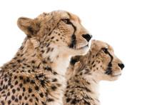Cheetahs Portrait White Background