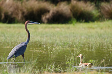 Goliath Heron And Egyptian Goose