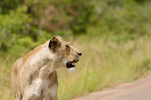 Single Female Lioness Standing On Road Looking Off Camera, Kruge