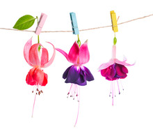 Beautiful Fuchsia Flowers Handing On Rope With Colorful Clothesp