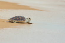 Hawksbill Sea Turtle On The Beach, Thailand.