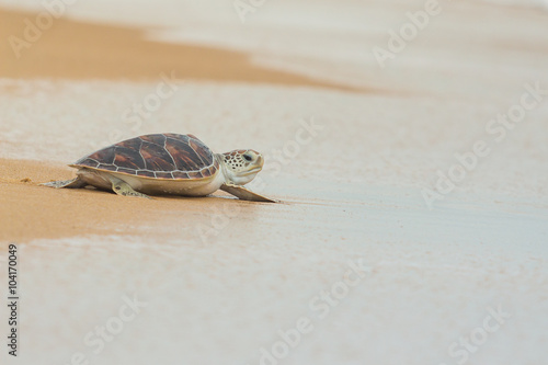 Hawksbill sea turtle on the beach, Thailand.