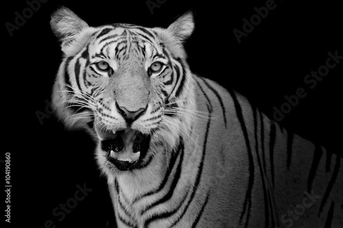Fotomurales - Black and White Tiger looking his prey and ready to catch it.