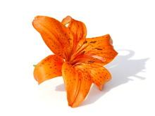 Orange Tiger Lily Flower On White Background
