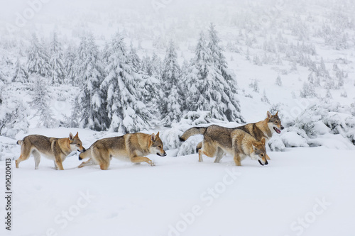 Wolves in the snow Wallpaper Mural