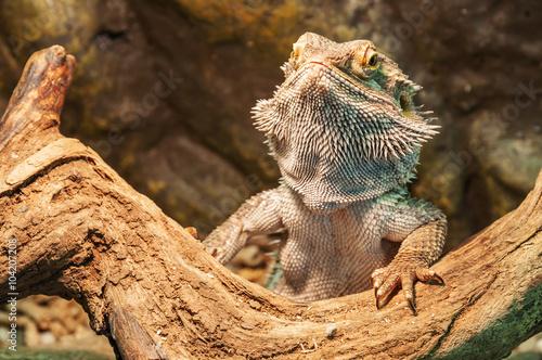 Photo agama lizard