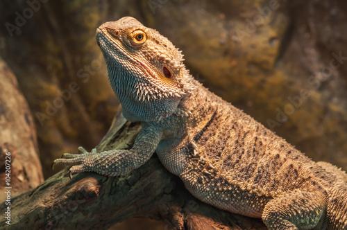 bearded dragon (agama lizard) Canvas Print