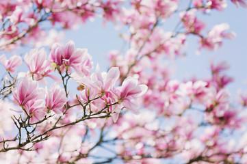 Fototapeta samoprzylepna Wiosna. Kwitnąca magnolia
