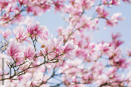 Photo  Spring! Blooming Magnolia