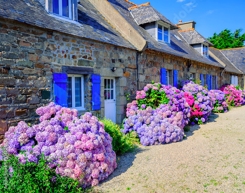 Colorful Hydrangeas flowers in a small village, Brittany, France
