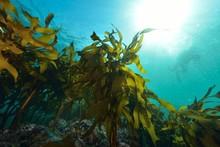 葉山の海藻
