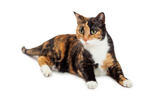 Beautiful Calico Cat Laying Over White Background