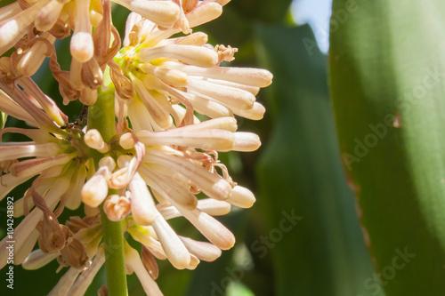 Fotografia, Obraz Beautiful Dracaena flower in the garden