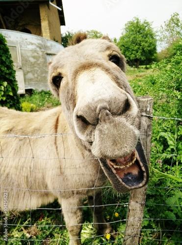 Fotografie, Tablou Un âne en train de faire une grimace.
