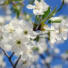 fototapeta białe kwiaty kwitnące