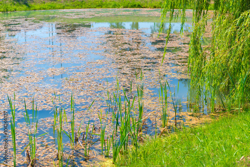 overgrown with algae stagnant pond on a sunny day Fototapeta