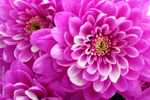 Poster de jardin Dahlia Close up of pink flower aster