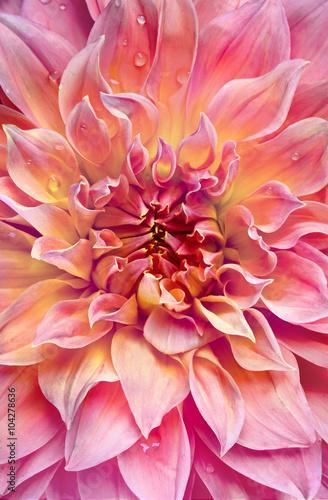 Poster de jardin Dahlia big pink dahlia background