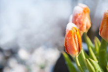 Tulips In The Snow, Looking Fo...