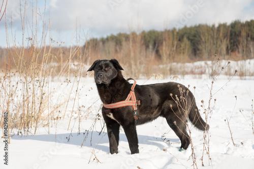 Foto  Winterportrait des schwarzen Hundes