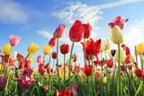 Fototapeta Tulipany - Leuchtendes Tulpenfeld und blauer Himmel