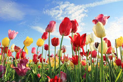 Deurstickers Tulp Leuchtendes Tulpenfeld und blauer Himmel