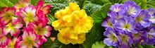 Colorful Primula Flowers .