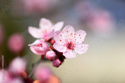 Fototapeta Macro shot of pink spring blossoms obraz na płótnie