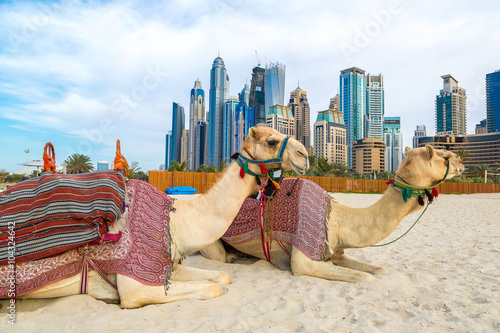 Photo sur Aluminium Chameau Camel in Dubai Marina