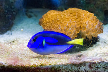 Blue Tang Or Blue Surgeonfish ...