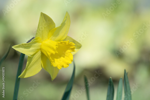 Deurstickers Narcis Yellow daffodil flower blooming in flowerbed
