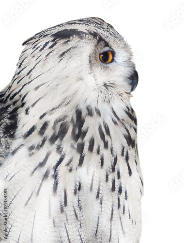 Keuken foto achterwand Uil big isolated white owl portrait
