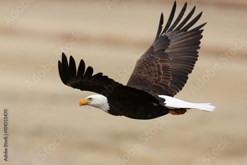 Fotobehang Eagle Bald Eagle in Flight