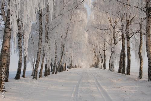 Zaśnieżona aleja brzozowa - 104360622