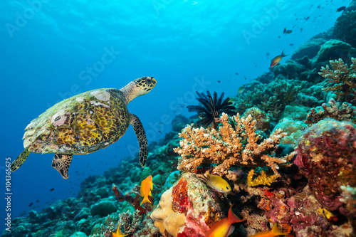 Poster Tortue Coral reef with turtle
