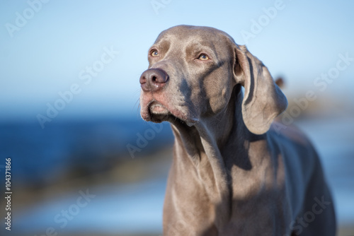 Poster Chasse weimaraner dog portrait outdoors
