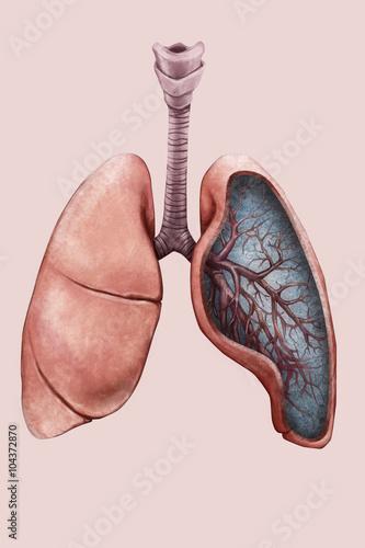 Valokuva  Illustrazione di polmoni, trachea e bronchi