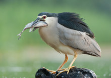 Black Crowned Night Heron Stan...