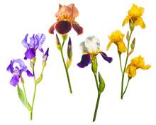 Various Colorful Irises