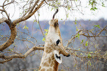 Namibia, Waterberg National Park, Giraffe Eating