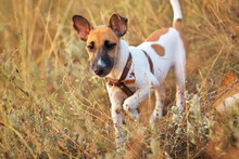 Young Smooth Fox Terrier Dog In The Field, To Spy Territory