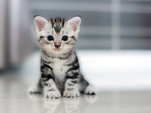 Cute American Shorthair Cat Ki...