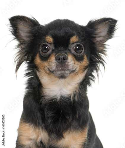 young longhair chihuahua - Buy this stock photo and explore