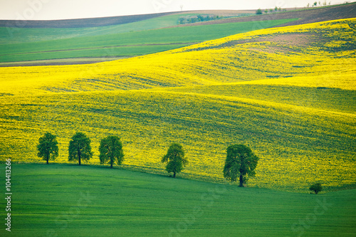 Poster Jaune Green and yellow spring hills. Colza fields in Czech Moravia