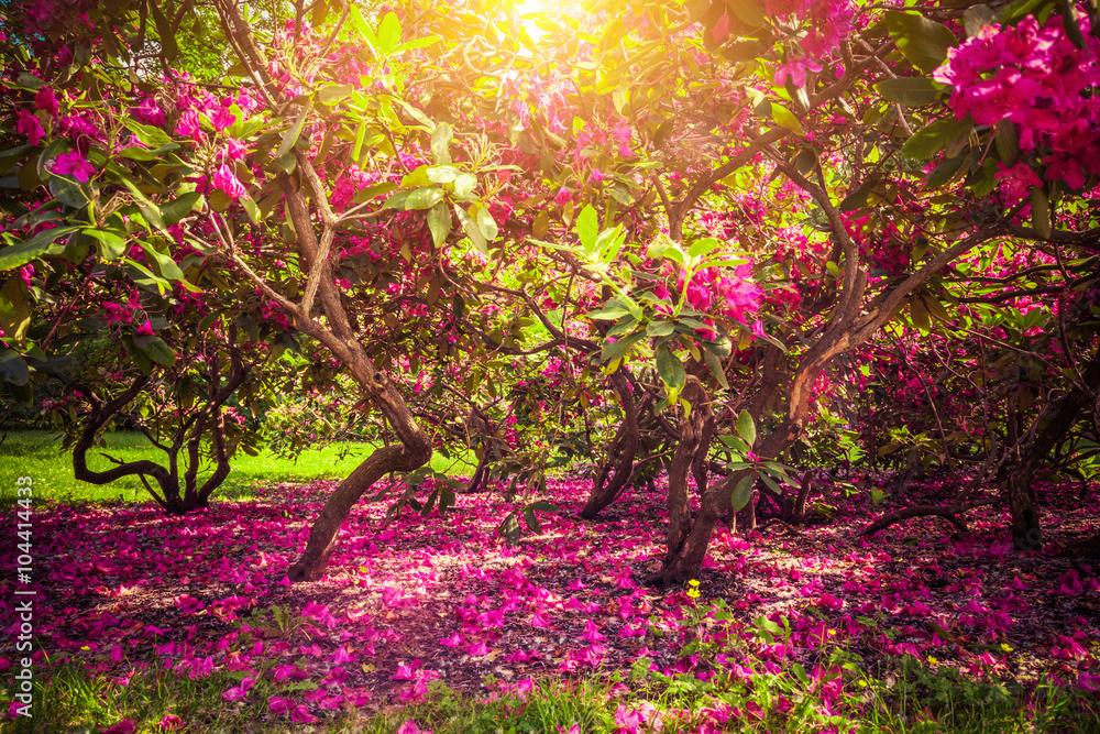 Fototapety, obrazy: Drzewa magnolii i kwiaty w parku, romantyczny nastrój