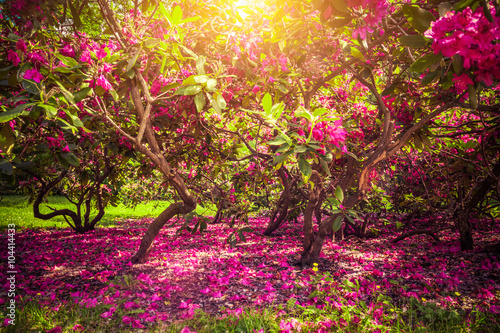 Obraz Drzewa magnolii i kwiaty w parku, romantyczny nastrój - fototapety do salonu