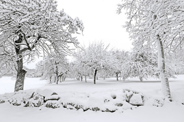 Winter, apple trees with snow after snowfall